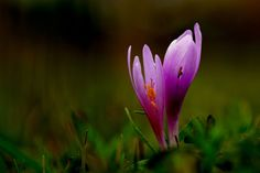 Colchicum Flowers from Colchis ⚓ Eastern Blacksea Region of Turkey #medea According to a Greek myth this  flower occured from the blood of Prometheus that spilled on the ground in Colchis. Colchian Princess Medea used this flower in an ointment to heal the thief Argonaut Jason.