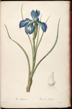 51 Best Pierre Joseph Redoute images | Botanical prints