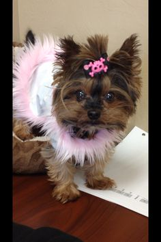 Miss Gabby, the cutest teacup Yorkie alive