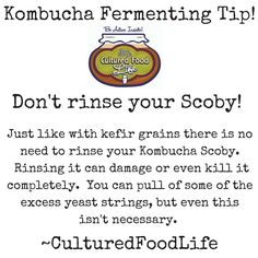Kombucha Fermenting Tip! Don't rinse your scoby. There is no need and it can damage or even kill them.