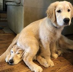 Found The Best Place To Sit 😅 🐾 Golden Retriever 🐶 📸 ( Cute Puppies, Cute Dogs, Dogs And Puppies, Doggies, Cute Baby Animals, Funny Animals, Golden Retrievers, Beautiful Dogs, Dog Pictures