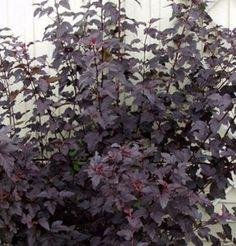 Purppuraheisiangervo – Physocarpus opulifolius 'Diabolo' (smällspirea)