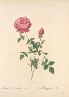 Rosa Indica Automnalis; Rosier de Chine, variete