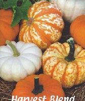 How to Grow Miniature Pumpkins, Growing Jack Be Little, Baby Boo Pumpkin Seeds
