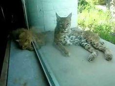 Indoor cat and bobcat 6
