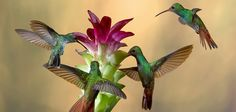Rufous tailed Hummingbirds