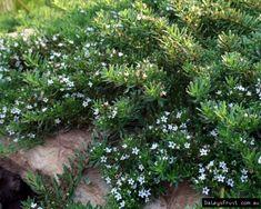Myoporum parvifolium compliments Alpine Nursery