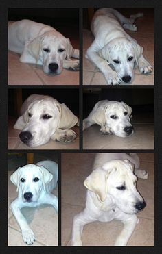 White Lab Puppy - Callahan Eastwood - our 3 month old