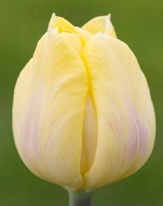 Tulip 'Cream Flag'