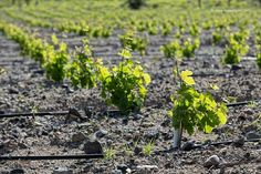 See 4645 photos and 233 tips from 23631 visitors to Σαντορίνη (Santorini). Santorini, Vineyard, Beer, Tours, Wine, Plants, Root Beer, Vineyard Vines, Planters