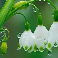 snow drops , i have loved these since i was a little girl and they grew up through the grass in our yard.