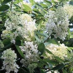 Hydrangea paniculata is always a fan favorite thanks to it's easy-to-grow reputation: http://www.bhg.com/gardening/trees-shrubs-vines/shrubs/summer-blooming-shrubs/?socsrc=bhgpin022315hydrangeapaniculata&page=4