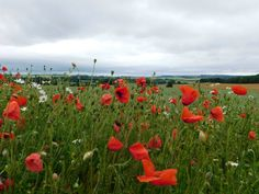"Granary Holidays na Twitterze: ""Poppies brightening the day. #Burythorpe #northyorkshire https://t.co/3Jb6QezJmg"""