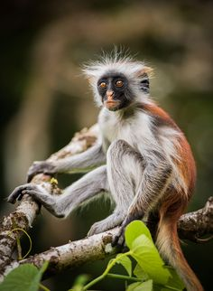 Red Colobus ... by cantay gok on 500px