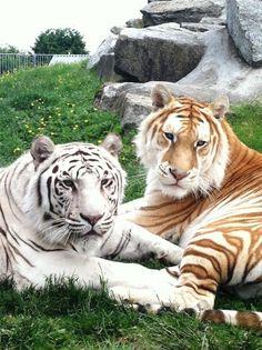 White Tiger / Golden Tiger