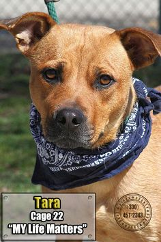 Meet 25 Tara, a Petfinder adoptable Shepherd Dog | Canton, OH | Release date 4/6.  Tara is a doll, she is a little on the reserved side at first, but just give her...