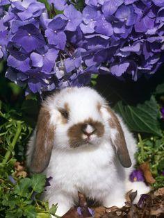 Baby Holland Lop Eared Rabbit, Amongst Hydrangeas, USA Premium Poster