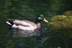 Mallard Ducks - So I Was Thinking