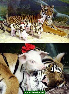 Tiger adoptiert Ferkel nachdem ihr Junges gestorben ist