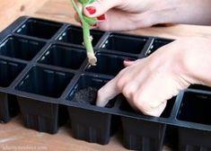 plantar-geranio