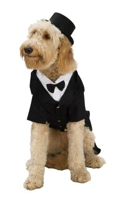 Doggy Tuxedo..the dog looks like macy but i was actually thinking bentley needs this outfit for the wedding!  haha how cute would that be!