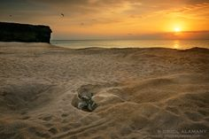 Oman | Green Turtle laying eggs at sunrise. credit: Oriol Alamany Sesé. view on fb https://www.facebook.com/SinbadsOmanPocketGuide