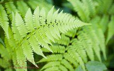 Chiết xuất từ dương xỉ giúp chống nắng hiệu quả