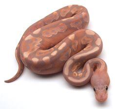 Cinnamon Banana Hidden Gene Woma Ball Python