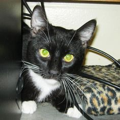 River is a young male tuxedo cat waiting who loves Temptations treats and warm laps to sit on. Click to view his adoption profile