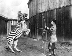 L'addestratore di zebre