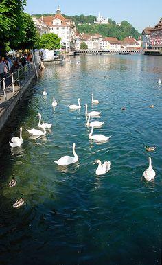 Swans of Lucerne, Switzerland
