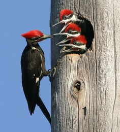 Male Pileated feeding chicks in Florida