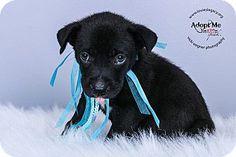 Cincinnati, OH - Labrador Retriever/Boxer Mix. Meet Inky, a puppy for adoption. http://www.adoptapet.com/pet/15989195-cincinnati-ohio-labrador-retriever-mix