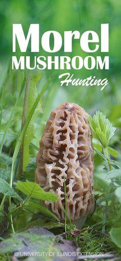 GUIDE: Morel Mushroo