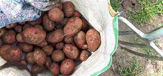 Neues vom Feld: Kartoffelernte im August
