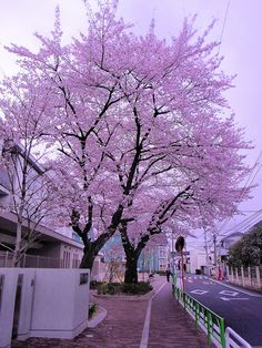 Gorgeous Cherry Tree - Tokyo, Japan If I could I would have two of these in my yard. Beautiful World, Beautiful Places, Beautiful Pictures, Sakura Cherry Blossom, Cherry Blossoms, Cecile, All Nature, Blossom Trees, Cherry Tree