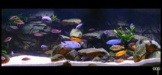 Malawi cichlids - interesting rock layout