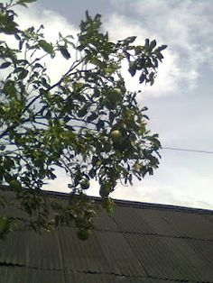 bibit buah dan kayu
