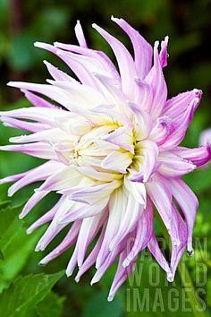 Dahlia 'Mingus Gregory': cactus