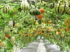 A walkway of hanging squash and veggies.