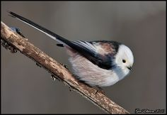 Long-Tailed Tit (Stjärtmes)  OMG How cute is this little puff-ball!?!
