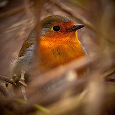 Robin This very different from the Robins we have in Oregon USA. Little Birds, Love Birds, Beautiful Birds, Animals Beautiful, Animals And Pets, Cute Animals, Fat Bird, European Robin, In Natura