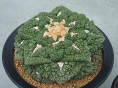 """Ariocarpus.   (""""Succulent."""")"""
