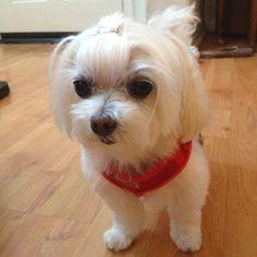 Maltese Cutie!!!