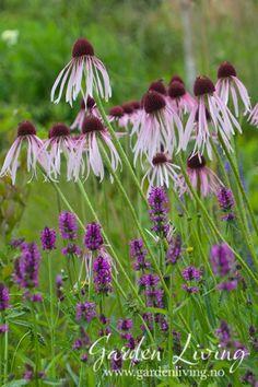 Blek solhatt - Echinacea pallida - Garden Living Acrylic Flowers, Garden Living, Dandelion, Plants, Outdoor Gardens, Houses, Modern, Pink, Beer