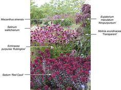 Tuin & Landschap | Wine and pink flowers: Miscanthus sinesis, Selinum wallichianum, Echinacea purpurea 'Rubinglow', Sedum 'Red Cauli', Eupatorium maculatum 'Atropurpureum' and Molinia arundinacea 'Transparent'