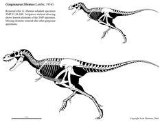 gorgosaurus libratus skeletaldrawing.com Scott Hartman