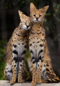 Beautiful Creatures, Animals Beautiful, Cute Animals, Baby Animals, Beautiful Cats, Wild Animals, Big Cats, Cute Cats, Animal Pictures