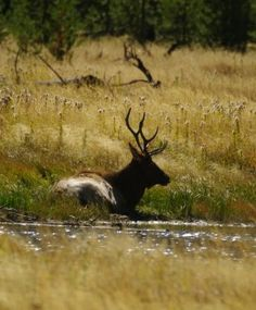 Elk on the Madison River, Montana