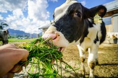 Bauernhofurlaub in Saalfelden am Steinernen Meer Cow, Animals, Recovery, Adventure, Unique, Life, Animales, Animaux, Animal
